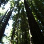 Redwoods CA - photo Mara