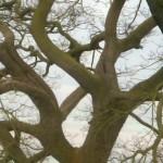 Gnarled Tree Wales by Mara