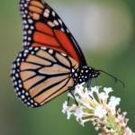 butterfly31