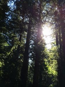 Sequoia sunrise