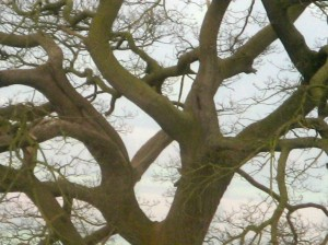 Gnarled Tree Wales by Mara